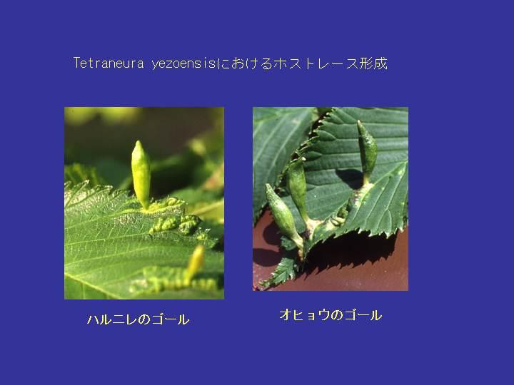hydrangea aspera macrophylla vs argentina